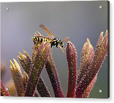 Waspage In The Kangaroo Paw Acrylic Print by Joe Schofield