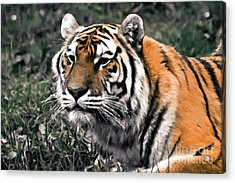 Watchful Bengal Tiger - Brush Stroke Acrylic Print by Darcy Michaelchuk