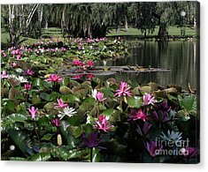 Water Lilies In The St. Lucie River Acrylic Print by Sabrina L Ryan