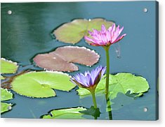 Water Lillies Of A Different Color Acrylic Print by Kathy Gibbons