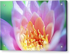 Water Lily Center Acrylic Print by Kicka Witte