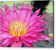 Water Lily In Pink Acrylic Print by Becky Lodes