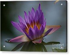 Water Lily Acrylic Print by Rachel  Harris