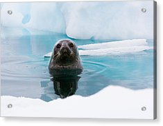 Weddell Seal Looking Up Out Of The Water, Antarctica Acrylic Print by Mint Images/ Art Wolfe