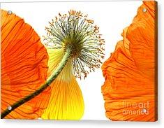Welting Poppy Flower Head Acrylic Print by Anita Antonia Nowack