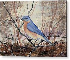Western Bluebird Acrylic Print by Sam Sidders