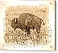 Western Buffalo Acrylic Print by Steve McKinzie