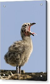 Western Gull Chick Begging For Food Acrylic Print by Sebastian Kennerknecht
