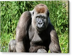 Western Lowland Gorilla Female Acrylic Print by Julie L Hoddinott