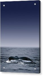 Whales Fluke Acrylic Print by Darren Greenwood