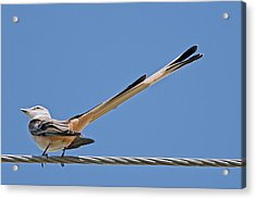 What A Long Tail You Have Acrylic Print by Bonnie Barry