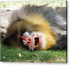 What Big Teeth You Have Acrylic Print by Feva  Fotos