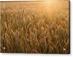 Wheat Field During Sunrise Acrylic Print by Bjorn Holland