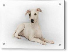 Whippet Puppy Acrylic Print by John Clum