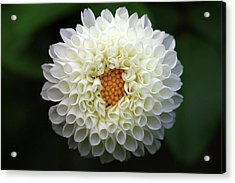 White Beautiful  Dahlia Acrylic Print by Photography by Dalang5