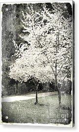 White Blooming Tree Acrylic Print by Danuta Bennett