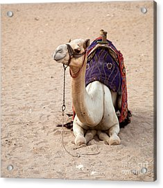 White Camel Acrylic Print by Jane Rix