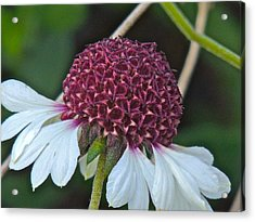 White Coneflower Acrylic Print by Eve Spring