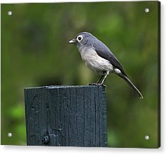 White-eyed Slaty Flycatcher Acrylic Print by Tony Beck
