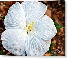 White Hibiscus Bloom Acrylic Print by Eva Thomas