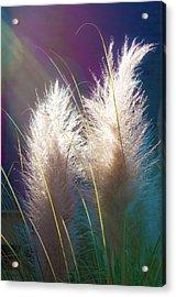 White Pampas Grass Acrylic Print by Richard Marquardt