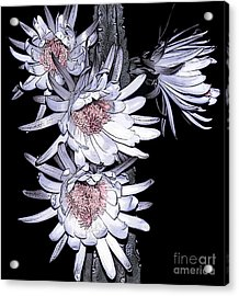 White Pink Cereus Flowers - Digital Art Acrylic Print by Dolores Root