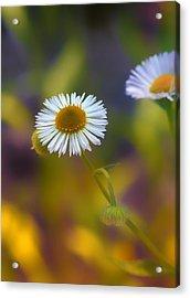White Wildflower On Pastels Acrylic Print by Bill Tiepelman