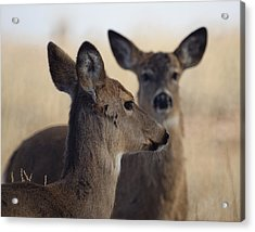Whitetail Deer Acrylic Print by Ernie Echols
