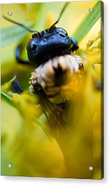 Who Knew Bees Have Mustaches Acrylic Print by Beth Akerman