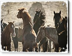 Wild Horse Battle D1713 Acrylic Print by Wes and Dotty Weber