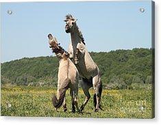 Wild Horses Acrylic Print by Masterbrickert Photography
