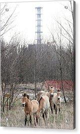 Wild Horses Near Chernobyl Acrylic Print by Ria Novosti