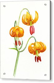 Wild Tiger Lilies Acrylic Print by Sharon Freeman