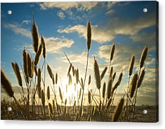 Wild Wheat Growing On The Shores Acrylic Print by Brooke Whatnall