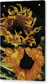 Wilted Sunflowers Acrylic Print by Todd Sherlock