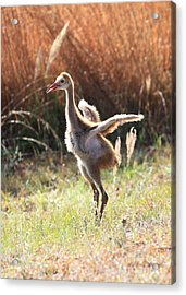 Winging It In The Morning Acrylic Print by Carol Groenen