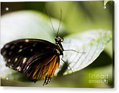 Wings Acrylic Print by Leslie Leda