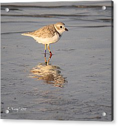 Winter Piping Plover Banded 2 Acrylic Print by Roena King