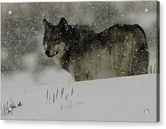 Winter Wolf #1 Acrylic Print by Kenneth McElroy