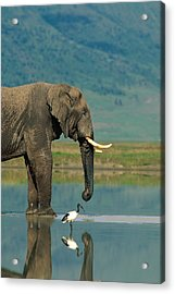With A Sacred Ibis Threskiornis Acrylic Print by Beverly Joubert