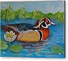 Wood Duck Acrylic Print by Joan Landry