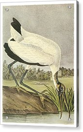 Wood Stork Acrylic Print by John James Audubon