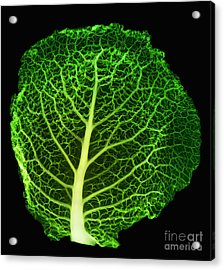 X-ray Of Cabbage Leaf Acrylic Print by Ted Kinsman