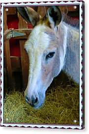 Yahoo The Mule Acrylic Print by Mindy Newman