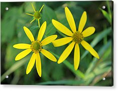 Yellow Coneflower Acrylic Print by James Hammen