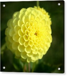 Yellow Dahlia Acrylic Print by Cathie Tyler