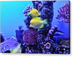 Yellow Fish With Purple Coral Acrylic Print by Linda Phelps