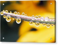 Yellow Flowers Reflected In Dew Drops Acrylic Print by Natural Selection Craig Tuttle