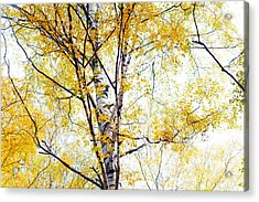 Yellow Lace Of The Birch Foliage  Acrylic Print by Jenny Rainbow