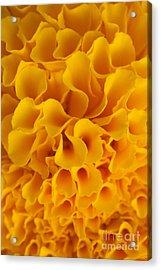 Yellow Marigold Macro View Acrylic Print by Atiketta Sangasaeng
